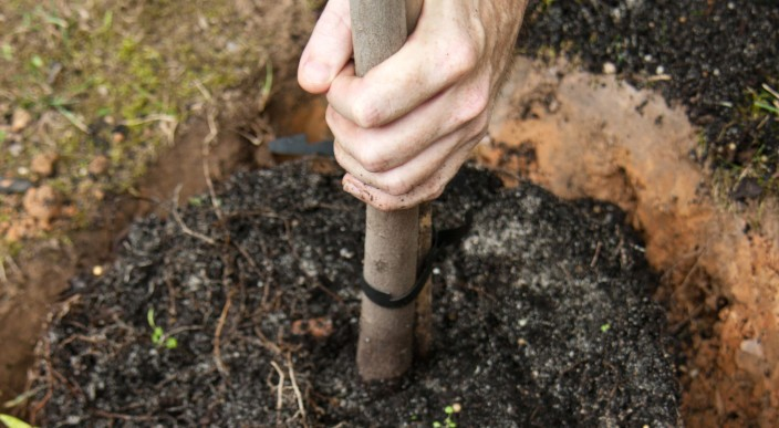 ludlowthompson sponsors planting of trees in Oval  photo 1